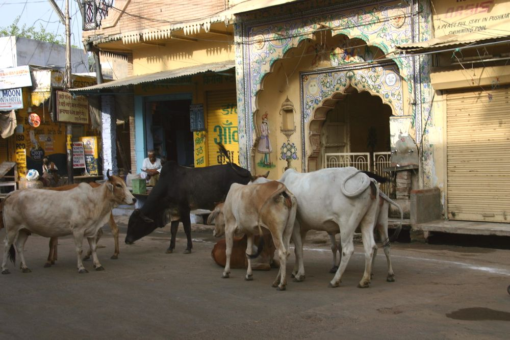 Cows in the city center