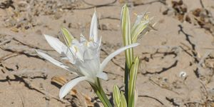 Sea Lily, or Lily of the Sands