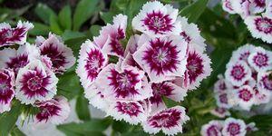 Carnation, modern pink