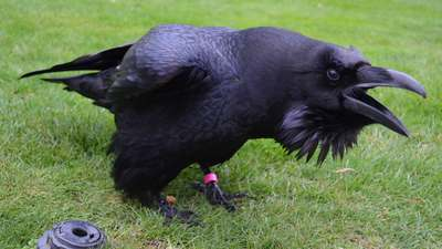 Crows of the tower of London
